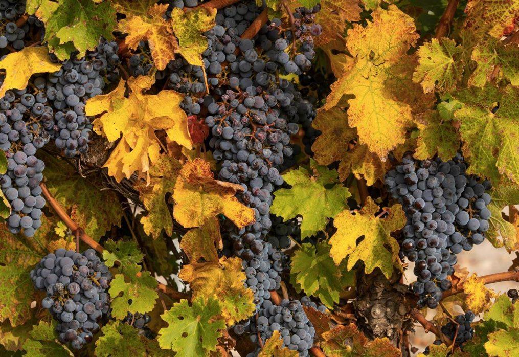 Garnacha: la variedad de uva más popular de los últimos tiempos